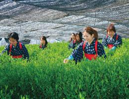 一番茶の茶摘み体験と抹茶工場見学