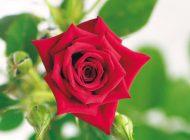 市の花「バラ」