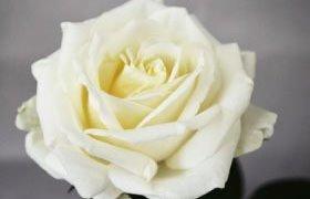 花が大きいバラ