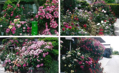 バラ愛好家による街角花壇