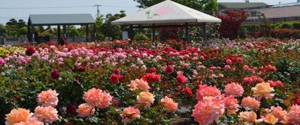 「佐久島」の自然とアートとバラ園見学