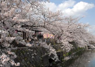 みどり川 桜咲くころ