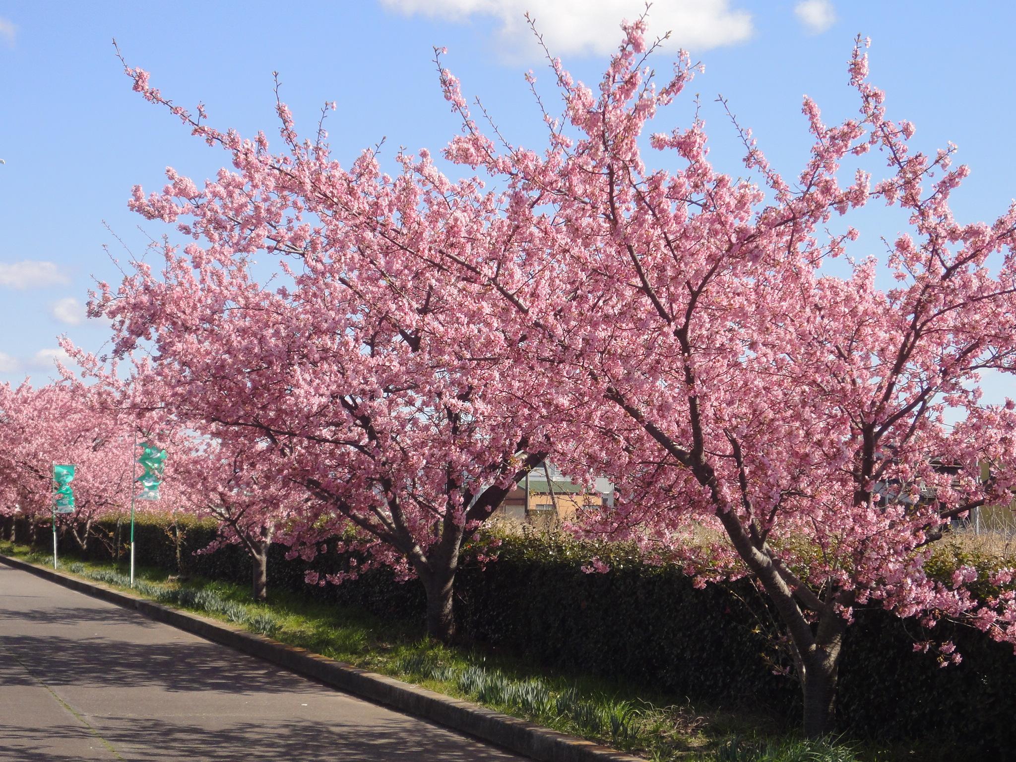 桜 開花 状況 河津